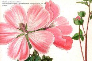 Iconographia_botanica_4