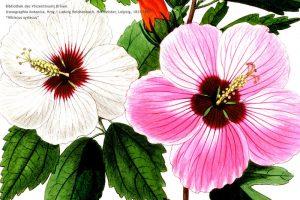 Iconographia_botanica_5
