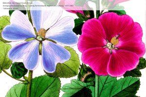 Iconographia_botanica_6